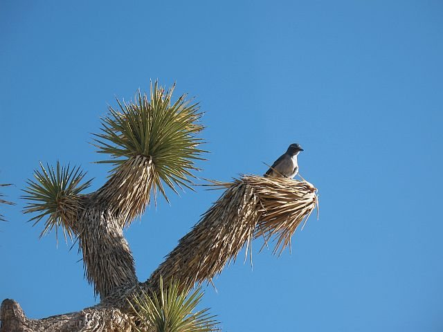 Rock Climbing Photo: Scrub Jay near Hemingway Buttress, Joshua Tree NP
