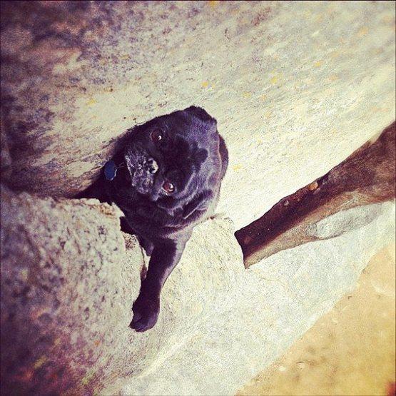 Rock Climbing Photo: Pug Life!