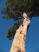 Rock Climbing Photo: A nice tree near the Big Greeny Boulder, Black Mou...