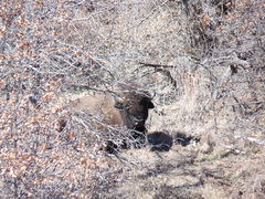 Rock Climbing Photo: Close encounter with a bison when we accidentally ...