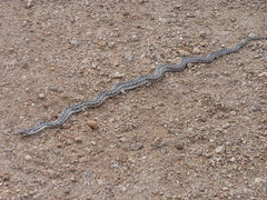 Rock Climbing Photo: Young Gopher snake out catching some rays. Looks l...