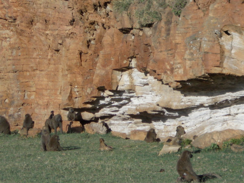 BABOON BOULDERING SESSION<br> <br> The Mushroom Boulder at Hueco Tanks is famous for polished surfaces caused by mega-fauna rubbing against it.  <br> <br> A similar animal polish is found on the handholds of Fischer's Cliff.