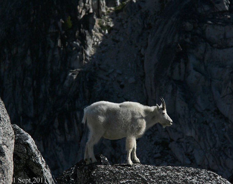 Mountain goat near the top of Aasgard pass