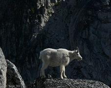 Rock Climbing Photo: Mountain goat near the top of Aasgard pass