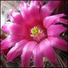 Redheaded Irishman flower. These are about the size of a dime!<br> Photo by Blitzo.<br>