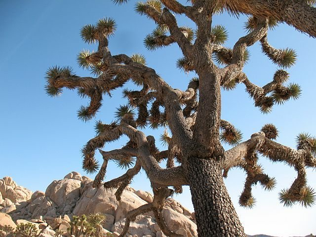 Rock Climbing Photo: A nice Joshua Tree near Jimmy Cliff, Joshua Tree N...