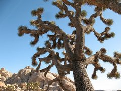 Rock Climbing Photo: A nice Joshua Tree near Jimmy Cliff, Joshua Tree N...