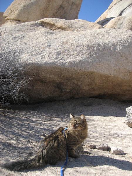 My ol' climbin' buddy Miss Tea Falcon Biscuit in Joshua Tree