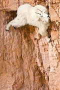 Rock Climbing Photo: da goat