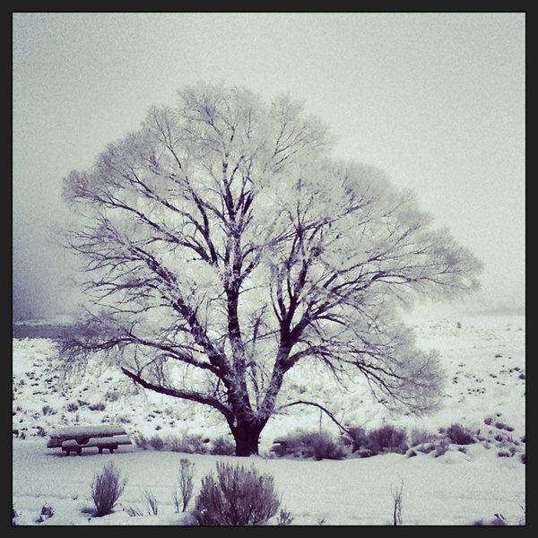 Mono Lake tree...
