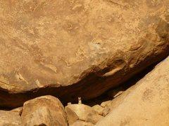 Rock Climbing Photo: Coyote pup near the Popes' Hat, Joshua Tree NP
