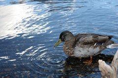 Rock Climbing Photo: Thirsty duck, June Lake Loop