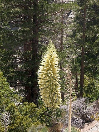 Our Lord's Candle (Hesperoyucca whipplei), Angeles NF