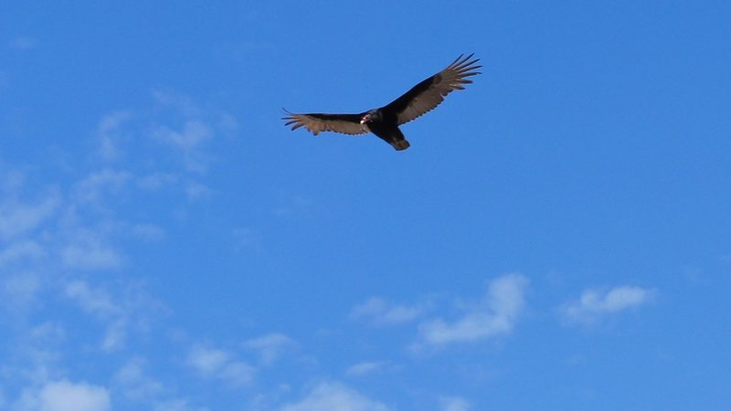 apparently a turkey vulture  flying above us at Pinnacles. the rangers told us there were condors at this site, but I guess this wasn't one of them.