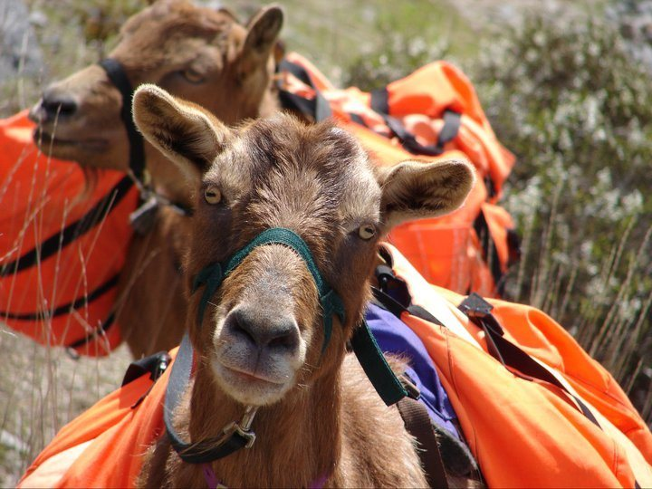 Rock Climbing Photo: Climbing with goats in Hells Canyon.