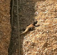 Rock Climbing Photo: This male chuckawalla is the man of the house, try...