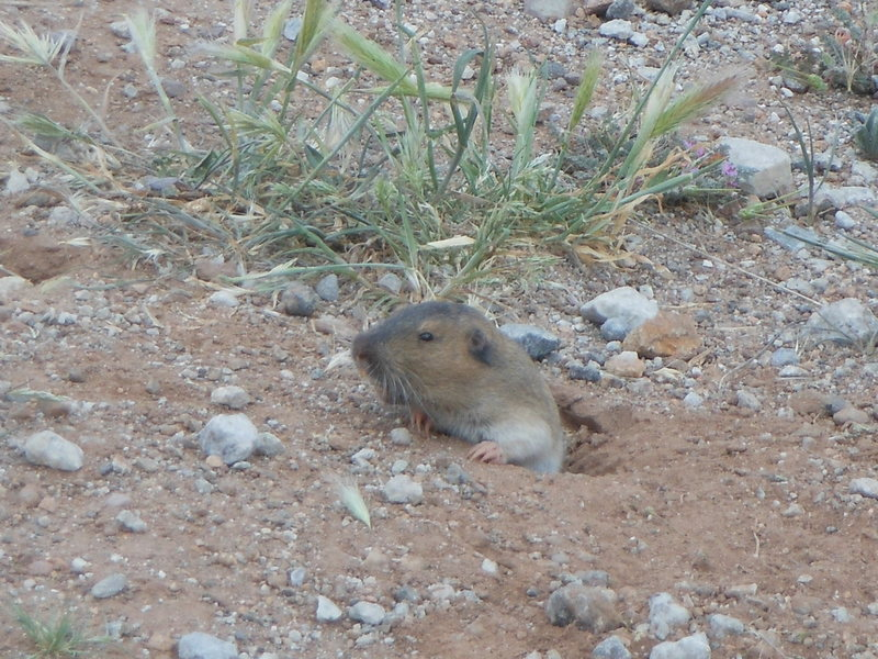 Rock Climbing Photo: A Western Pocket Gopher enjoying the spring and th...