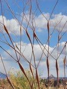 Rock Climbing Photo: Desert Eriogonum