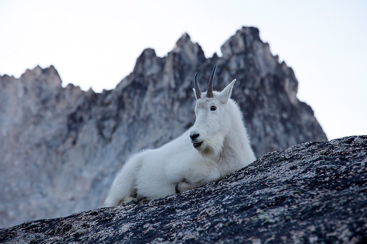 Mountain goat on Aasgard Pass, Washington