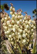 Rock Climbing Photo: Mojave Yucca. Photo by Blitzo.