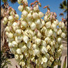 Mojave Yucca.<br> Photo by Blitzo.