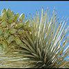 Joshua Tree seed pods.<br> Photo by Blitzo.