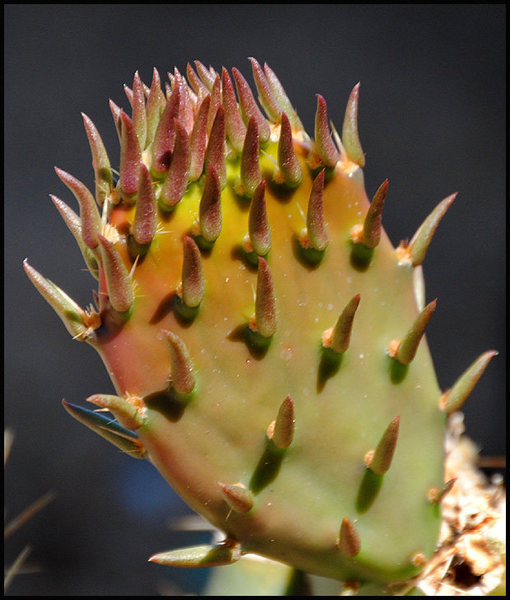Prickly Pear.<br> Photo by Blitzo.