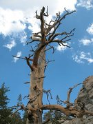 Rock Climbing Photo: This weathered snag is useful landmark to locate T...