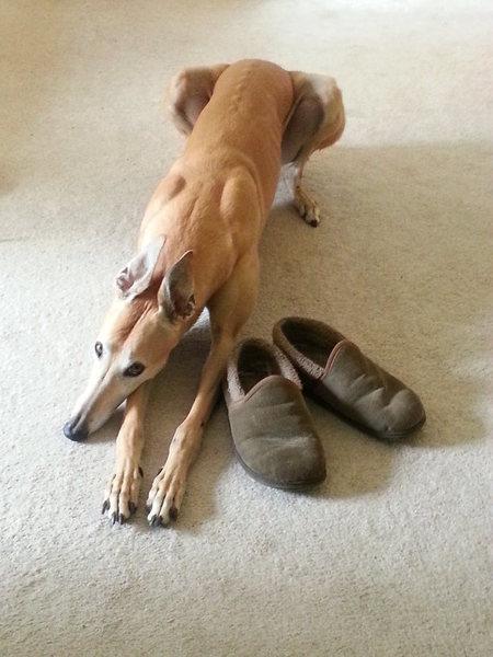 Chloe the greyhound