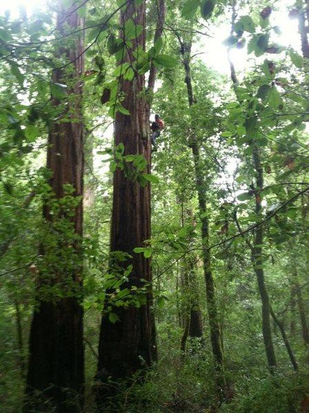 Me climbing a redwood