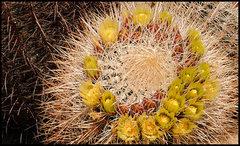 Barrel Cactus. <br />Photo by Blitzo.