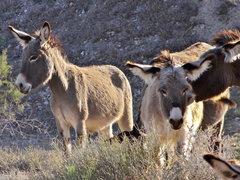 desert ponies