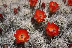 Rock Climbing Photo: Claret Cup (Echinocereus triglochidiatus) near Lit...