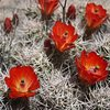 Claret Cup (Echinocereus triglochidiatus) near Little Hunk, Joshua Tree NP