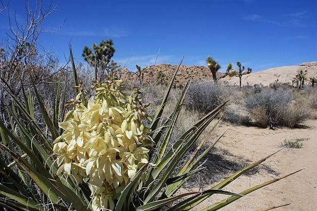 Mojave Yucca (Yucca schidigera) in bloom near Little Hunk, Joshua Tree NP<br> <br>