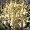 Mojave Yucca (Yucca schidigera), Joshua Tree NP