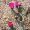 Beavertail Cactus in nice spring bloom.