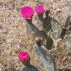 Beavertail Cactus in nice spring bloom.
