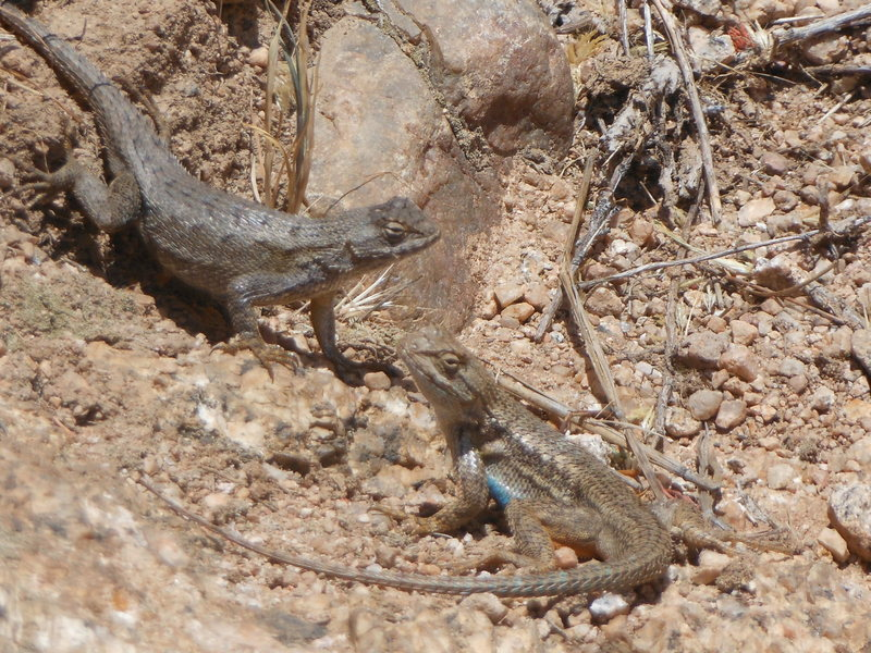 Rock Climbing Photo: Western Fence lizards catching some rays in the gu...