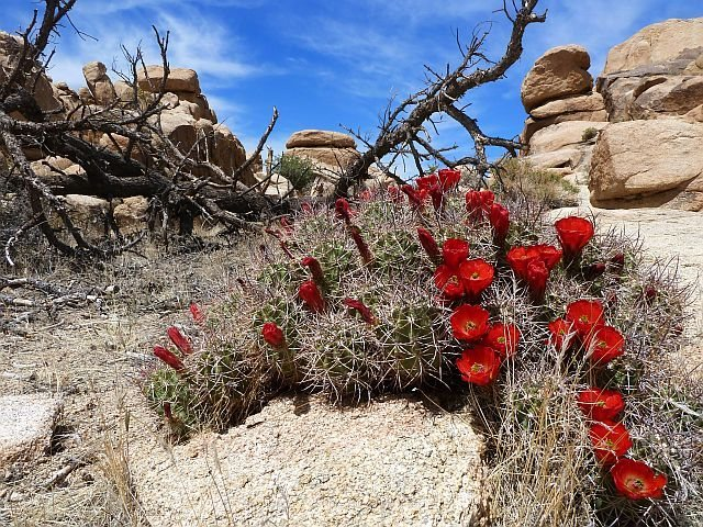 Rock Climbing Photo: Claret Cup (Echinocereus triglochidiatus) near the...