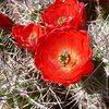 Claret Cup (Echinocereus triglochidiatus), Joshua Tree NP