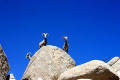 Rock Climbing Photo: Bighorn Sheep near the Oyster Bar, Joshua Tree NP