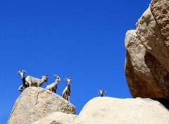 Rock Climbing Photo: Bighorn Sheep near the Oyster Bar, Joshua Tree NP