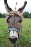 Rock Climbing Photo: Piper, the resident donkey at the campground acros...