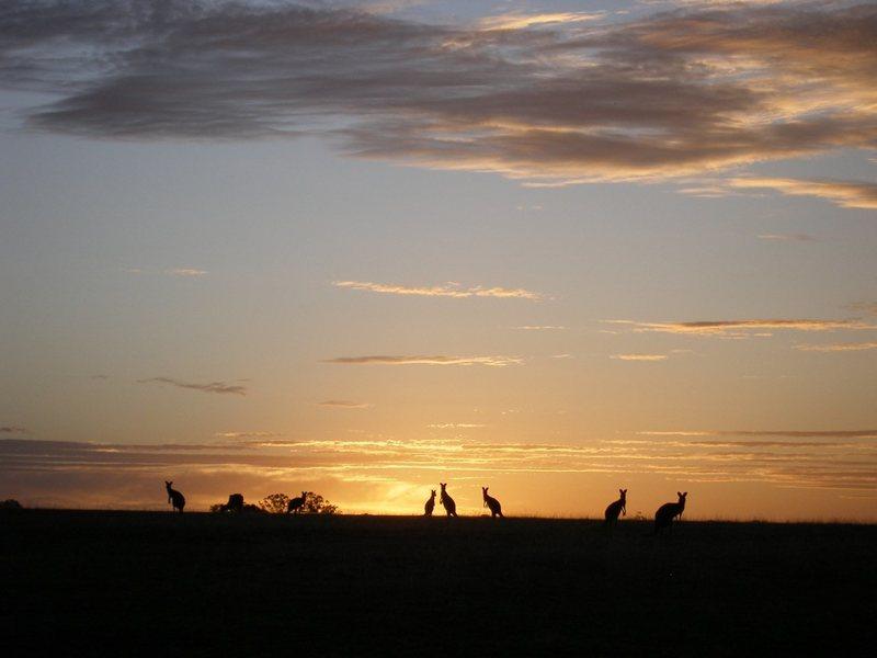 Rock Climbing Photo: kangaroos near Arapiles