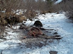 Dead moose on the hike out.  Looks like the wolves and ravens cleaned it up good.