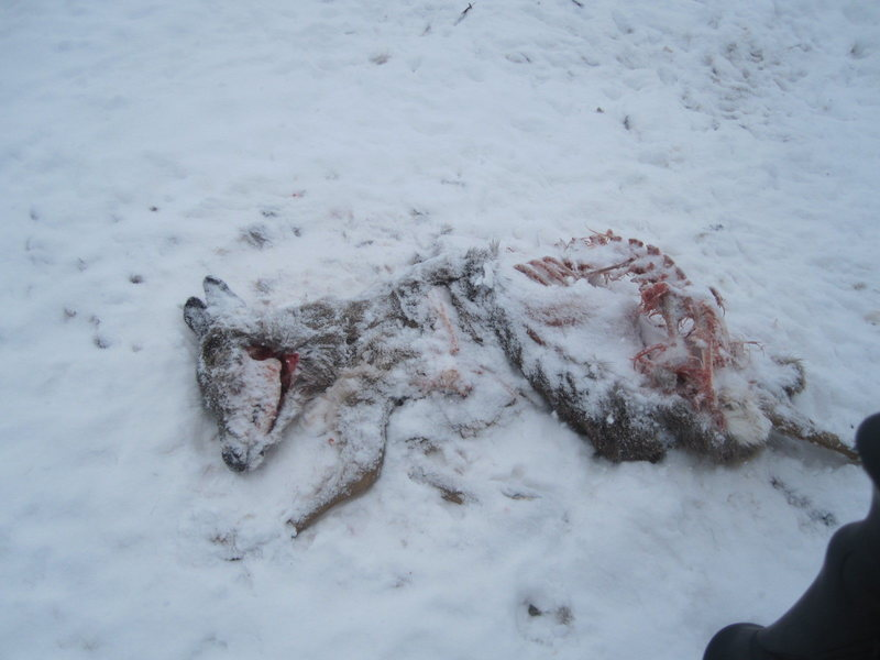 Deer carcass picked clean by the bald-eagles.  We saw at least 4 that day!