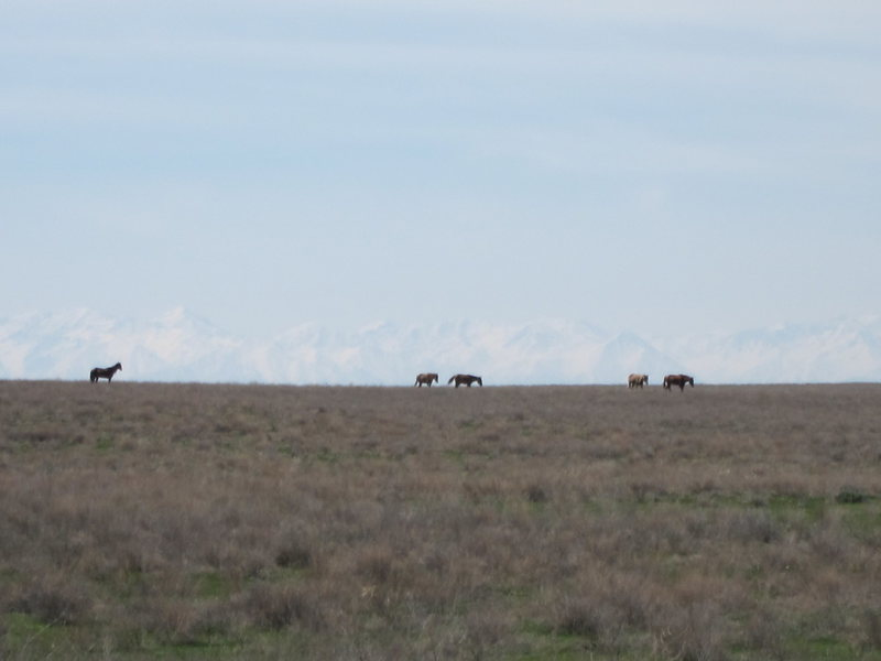 Horses on the Kazakh steppe with the Tien Shan mountain range in the background.