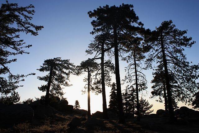 Backlit pines, Black Mountain