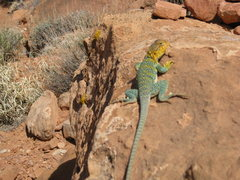 Rock Climbing Photo: you know what kind of of lizard this is?